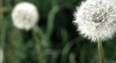 Make a Wish (BriannaRivera61) Tags: summer white flower macro green nature outside outdoors natural dandelion wish makeawish
