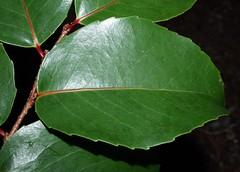 0222 001-01-b-2641 Xylosma hawaiiense.  Taxon? 2 (larger leafed), occurrence 1, plant 1.  Wai`anae Mts., inland of Waialua. (jqcl) Tags: plant hawaii oahu maua nativeplant waianaemountains hawaiianislands salicaceae flacourtiaceae xylosma nativehawaiianplant xylosmahawaiiense