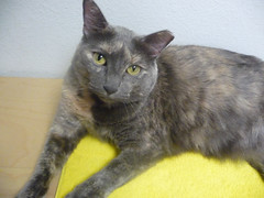 Coco: A Happy Update! (Philosopher Queen) Tags: rescue cat chat kitty coco gato adoption ffl