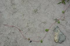 Prispeal (anuwintschalek) Tags: sea summer plant beach strand see nationalpark sand meer estonia sommer pflanze july baltic cape peninsula ostsee meri itmeri eesti kste lahemaa suvi estland neem landzunge taim rannas 2013 18200vr liiv rahvuspark lnemeri d7k poolsaar purekkari nikond7000 prispea