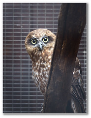 brown tree green bird metal wire eyes branch mesh pentax beak feathers large sigma cage caged owl perch wakefield captive claws enclosure outwood