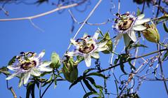 blue sky and passion flowers (Marlis1) Tags: blue sky onexplore explored mediterraneangarden marlis1 passsionflower canoneos60d catalunyaspainmarliestortosa exploredjuly202013