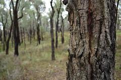 Ironbark Forest (phunnyfotos) Tags: trees winter forest gum nationalpark bush nikon australia victoria bark eucalypt trunk vic eucalyptus chiltern eucalypts gumtrees ironbark northeastvictoria d5100 nikond5100 phunnyfotos chilternboxironbarknationalpark