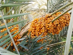 Mαdinαh ❤ Dαte (gLySuNfLoWeR) Tags: fruit muslim islam date madinah medine hurma