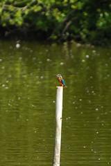 Brandon Marsh. 9th Aug 2013. East Marsh Pool, John Baldwin Hide.  A83_8079 (Imagine Bill) Tags: kingfisher brandonmarsh brandonmarshnaturereserve