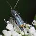Clanoptilus elegans (Malachiidae) ♂ - soft-winged flower beetles