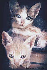 Cat friends (© Ahmed rabie) Tags: cats cute together