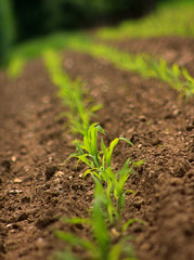 Shoots shoots and leaves (Sameer Gharat) Tags: green field farm soil rows shoots