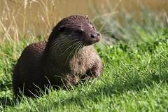 European Otter (nitram0864) Tags: nature canon otter bwc britishwildlifecentre europeanotter canoneos600d