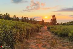 I enjoy the sunrise (Masahiko Futami) Tags: sky cloud tree green nature field japan forest sunrise canon landscape asia photographer 日本 木 雲 自然 空 緑 風景 teaplantation 畑 日の出 森 朝日 茶畑 eos5dmarkiii