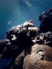 A Fiji Reef Fish (coryinsc) Tags: ocean fish coral fiji islands underwater olympus reef mamanucas xz1