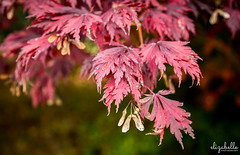 Japanese maple (Eliza Belle Photography) Tags: autumn red color detail fall nature leaves outdoors maple seasons bokeh pennsylvania foliage pa japanesemaple chestersprings changingseasons