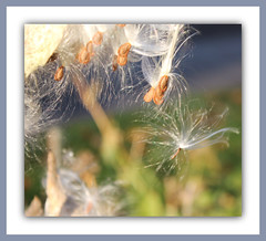 Silky Seed Threads (bigbrowneyez) Tags: light soft dof bokeh shimmery seeds frame lovely elegant delicate mygarden luce artful pods silky threads cornice milkweeds finedetail satiny miogiardino satinseedthreads silkyseedthreads
