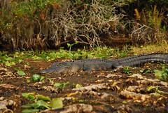 Swamp Gator {Explored 11/19/2013} (moke076) Tags: autumn wild fall nature animal georgia flickr dinosaur gator reptile south alligator explore swamp okefenokee land resting sunning explored stephencfoster georgiaconservancy wildlifewednesday