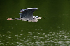 Grey Heron (Ardea cinerea) in Berlin, Germany (Frank Crooijmans) Tags: berlin birds animal animals germany de vogels aves ardea ardeacinerea dieren dier animalia ardeidae greyheron reigers pelecaniformes blauwereiger canoneos40d ardeidaefamily ef70300mmf456lisusm ardeagenus avesclass animaliakingdom pelecaniformesorder ardeacinereaspecies roeipotigenenpelikaanachtigen