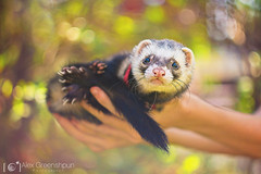 You Talkin' to Me? (alexgphoto) Tags: park pink friends light red summer pets brown color colour cute green nature look animal animals yellow canon season fur wonder mammal outdoors nose happy ferret spring eyes furry hands colorful dof emotion sweet bokeh tail joy adorable ears whiskers m42 cuteness magical gaze connection helios shallowdof bokehlicious bokehoftheday