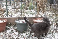 return of snow cat (natebeaty) Tags: snow chicago escape carl abandonedgarden frozentomatoes