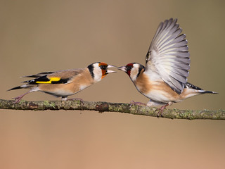 Goldfinch stand off.