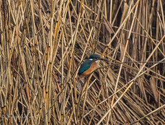 Kingfisher1 wm (Stevehughes1250) Tags: wales forest reeds farm cardiff kingfisher