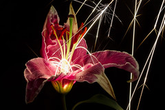 Lily Sparks 3 (Xuberant Noodle) Tags: flowers flower nature night fire lily bright explosion pistil burn stamen pollen sparks spark explode