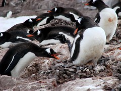 Give us a stone (ericy202) Tags: penguin gentoo december antarctica 2006 wildpenguin