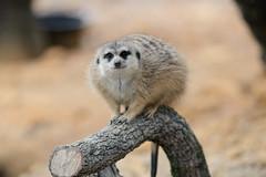 Meerkat on Branch (Eric Kilby) Tags: park tampa zoo meerkat branch lowry