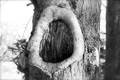 IMG_3098 (laufar1) Tags: blackandwhite tree hole bark oldtree blackhole weirdandwonderful
