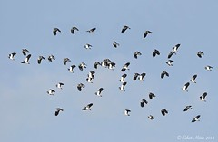 Lapwings in flight (Robert Horne Wildlife Photography) Tags: flock norfolk flight lapwing vanellusvanellus birdinflight birdflock wader lapwings