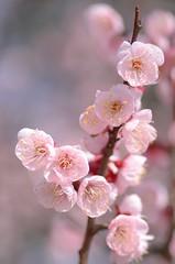 plum blossoms (snowshoe hare*) Tags: flowers ume botanicalgarden 梅 plumblossoms japaneseapricot 豊後梅 dsc8664 海の中道海浜公園