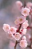 plum blossoms (snowshoe hare*(catching up)) Tags: flowers ume botanicalgarden 梅 plumblossoms japaneseapricot 豊後梅 dsc8664 海の中道海浜公園