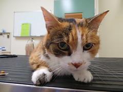 Smudge (Rayya The Vet) Tags: cat feline tortoiseshell anaesthetic geriatric domesticshorthair twitter vetdentistry vetrevisit