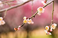 DSC_7161.jpg  (m3411) Tags: flowers    japaneseapricot 105mm d600 umeblossoms umetree originalphotography