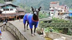 I am still beautiful! (Gabriele B) Tags: dog peru animal machu picchu hair no hairless aguas less peruvian 2014 calientes