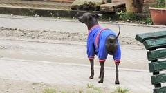 Peruvian hairless dog (Gabriele B) Tags: dog peru animal machu hair no hairless aguas peruvian 2014 calientes