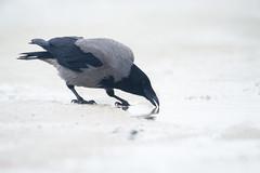 Hooded Crow - Corvus corone cornix (L.Mikonranta) Tags: bird nature birds norway canon eos is 300mm ii 7d l usm crow f28 ef extender vads hooded norja varis corvus corone 20x varanger 600mm cornix canonef300mmf28lisusm 20xtc canoneos7d copyrightlm canonefextender20xii