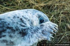 Hiding! Seal Pup, Donna Nook (Gaz - (Gareth Hinchliffe Photography)) Tags: eye grass fur seal flipper donnanook sonya77 sony70400mmf456ssmgsal70400g sony77