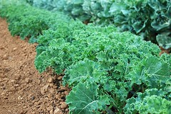 "kale • <a style=""font-size:0.8em;"" href=""http://www.flickr.com/photos/75400798@N04/13398666063/"" target=""_blank"">View on Flickr</a>"