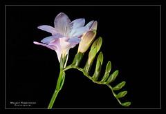 Freesie No. 2039 (Knipser31405) Tags: flowers blumen makro 2014 freesien mygearandme infinitexposure