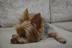 Yoshi (viniciusjp83) Tags: dog co yorkshire terrier cachorro