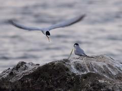 Least Tern feeding sequence 04-20140416 (Kenneth Cole Schneider) Tags: florida wildlife wetlands miramar courtship leasttern