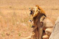 Agony & Ecstacy, Serengeti National Park, Tanzania (Poulomee Basu) Tags: lion lioness mating serengeti tanzania africa adventure beauty tranquil travel travelgram wild wilderness wildlife wildlifephotography wildlifephotographer savannah safari safarilover nikon nikond90 nikond90lovers nature naturelovers
