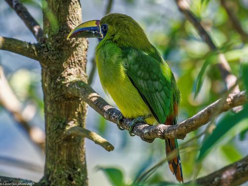 Emerald Toucanet (Aulacorhynchus prasinus), Costa Rica