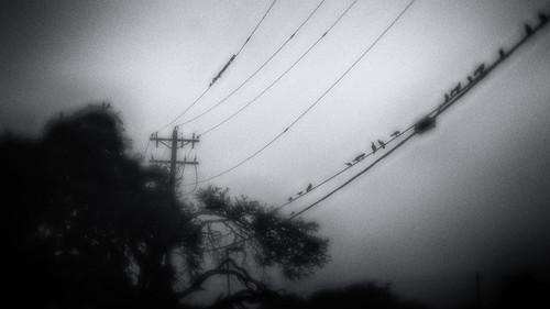 anneworner blackandwhite d7000 lensbaby nikon silverefex velvet56 bw birds electricpole grain mono noire perched sitting treest wire