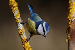 _F0A6106.jpg (Kico Lopez) Tags: cyanistescaeruleus galicia herrerillocomún lugo miño spain aves birds feeder rio