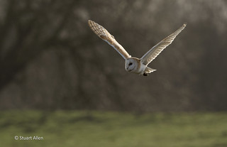Barn Owl_MG_2964