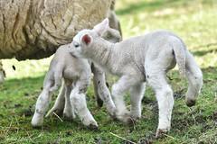 ~~ Le frère et la soeur ~~ (Joélisa) Tags: agneaux bébés babies moutons jumeaux deux two mars2017 glay brebis maman