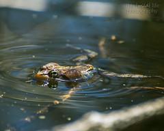The Singer (thiswildlifephotography) Tags: frog amphibian nature spring wildanimal wildlife water macro slimy