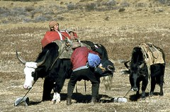 Chargement (Daniel Biays) Tags: dzo dzos sikkim inde tibétains animaux himalaya