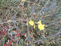484 (en-ri) Tags: forsizia giallo rosso bacche cespuglio sony sonysti