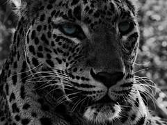 (_roberta ricciardi) Tags: leopard eyes details nature animals leopardo occhi digital blue blackandwhite bw biancoenero